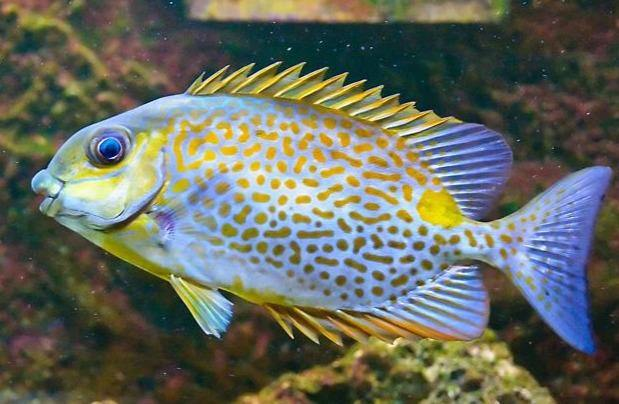 Yellow Blotch Rabbitfish (Siganus guttatus)