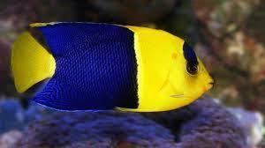 Bicolor Angelfish (Centropyge bicolor) - Corals Fish and Beyond