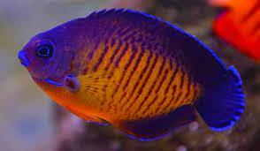 Coral Beauty Angelfish (Centropyge Beauty) - Corals Fish and Beyond