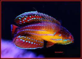 Peacock Flasher Fairy Wrasse (Cirrhilabrus Temmincki)