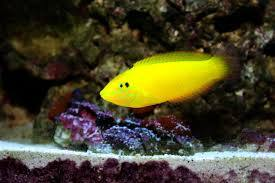 Yellow Chrysus (Halichoeres Chrysus)