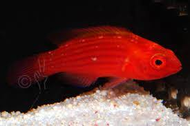 Earle's Fairy Wrasse (Cirrhilabrus Earlei)