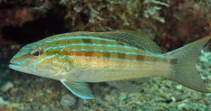 Blue Striped Sand Perch (Diplectrum Formosum) - Corals Fish and Beyond