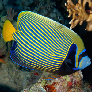 Emperor Angelfish (Pomacanthus Imperator) - Corals Fish and Beyond