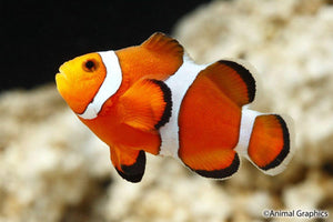 Orange Classic Clownfish (Amphiprion ocellaris) - Corals Fish and Beyond
