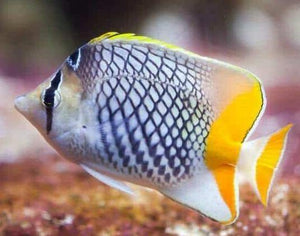 Pearlscale Butterfly Fish (Chaetodon xanthurus)