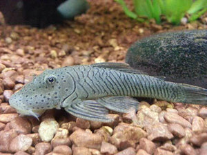 Rubberlip Pleco MS (Chaetostoma formosae L146 )