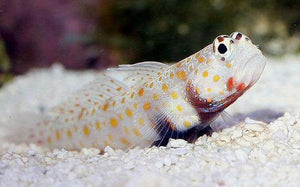 Orange Spotted Goby (Amblyeleotris guttata) - Corals Fish and Beyond