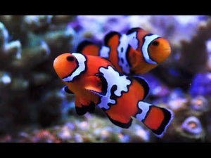 Snowflake Clownfish (Amphiprion Ocellaris) *Aquacultured*