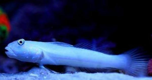Sleeper Blue Dot Goby (Valenciennea sexguttata)