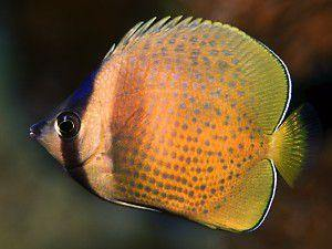 Orange Kleini Butterfly Fish (Chaetodon Kleini)