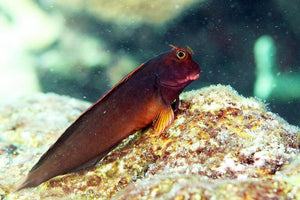 Horseface Blenny (Ophioblennius atlanticus) - Corals Fish and Beyond