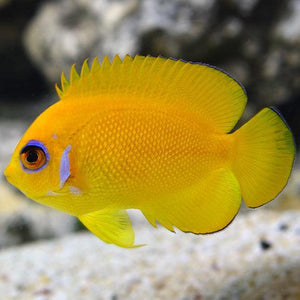 Lemon Peel Angelfish (Centropyge Flavissimus)