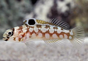Chainstrap Jawfish (Opistognathus sp)
