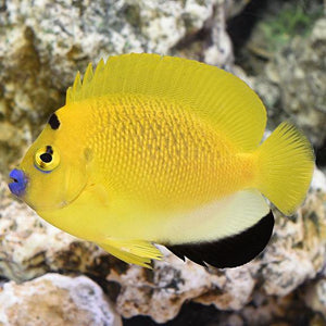 Flagfin Angelfish (Apolemichthys Trimaculatus)