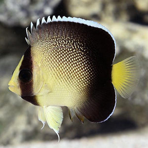 Yellowtail Cream Angelfish (Apolemichthys Xanthurus)