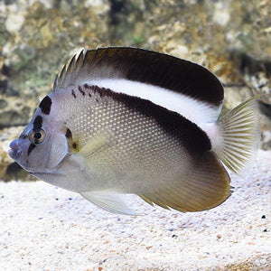Griffis Angelfish (Centropyge Griffis)