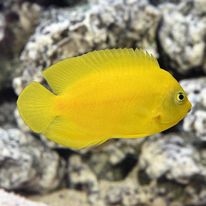 Yellow Angelfish (Centropyge Heraldi) Eastern Asia