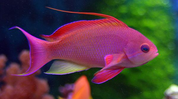 Red Lyretail Anthias (Pseudanthias Cheirospilos)