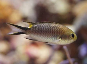 Richardson's Reef Damsel (Pomachromis Richardsoni)