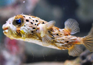 Porcupine Puffer (Diodon holocanthus) - Corals Fish and Beyond