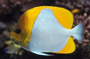 Pyramid Butterfly Fish (Hemitaurichthys Polylepis)