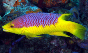 Spanish Hogfish (Bodianus rufus) - Corals Fish and Beyond