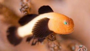 Panda Goby (Paragobius lacunicolus) - Corals Fish and Beyond