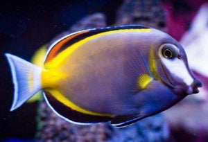 Powder Brown Tang (Acanthurus japonicus) - Corals Fish and Beyond