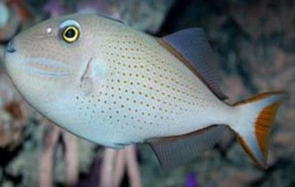 Red Tail Triggerfish (Xanthichthys ringens)