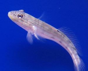 Sleeper Striped Goby (Valenciennea longipinnis)
