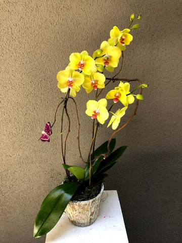 Orchid Plant with Ceramic Container