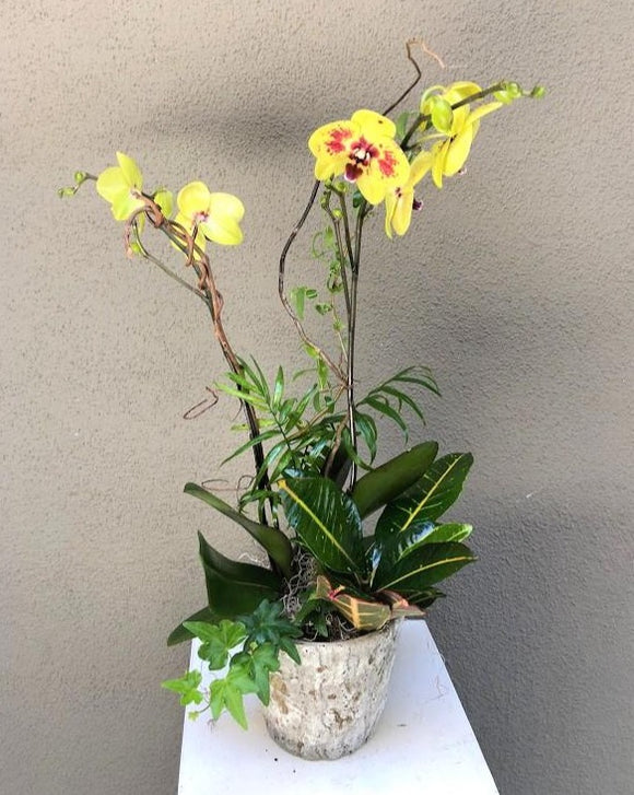 [OPA-01] Orchid Plant with Mixed Greenery