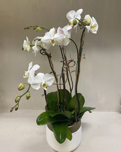 Three Stem White Orchid Plant