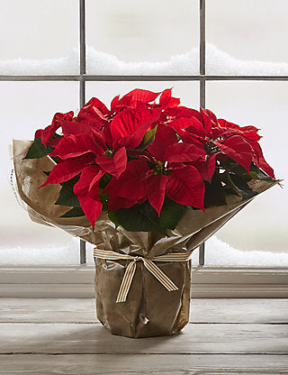 Holiday Poinsettia Plant