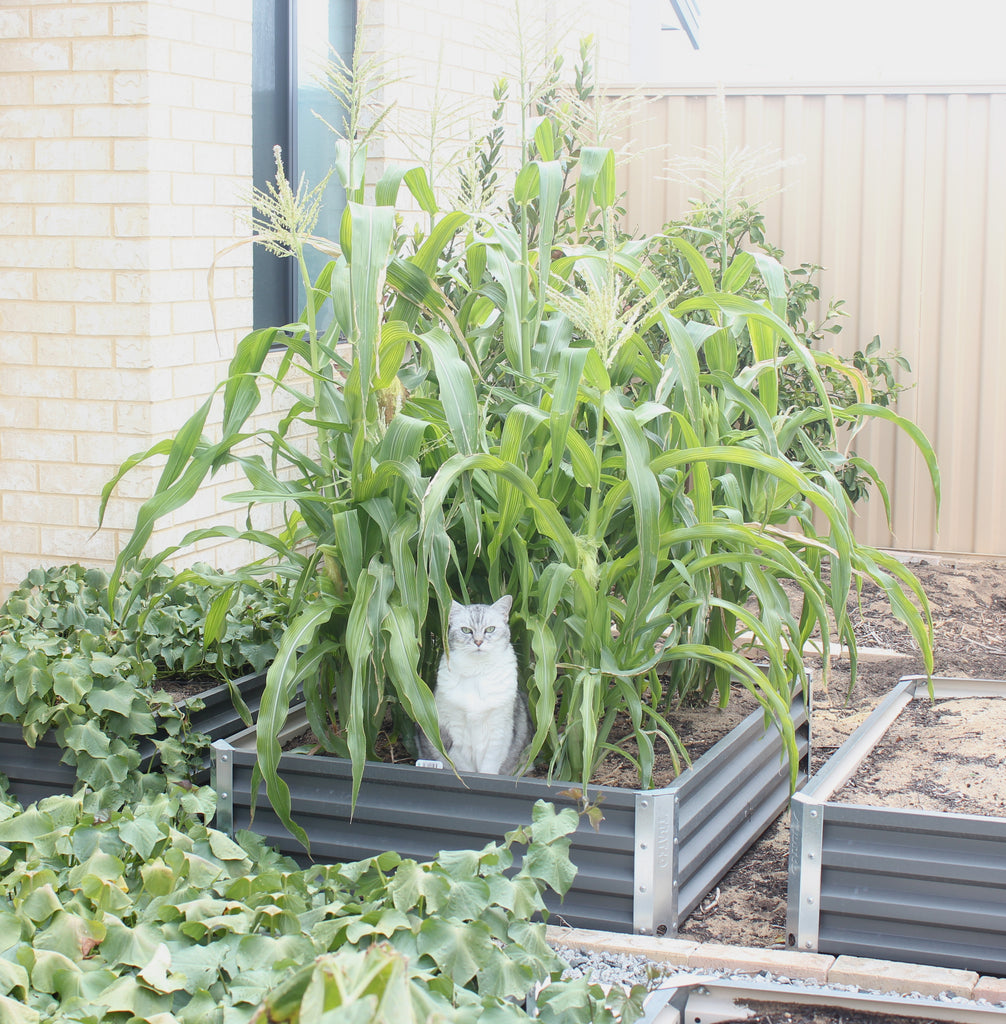 Cat in the corn cob patch