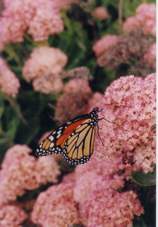Monarch Flyway protects biodiversity by creating value in products.