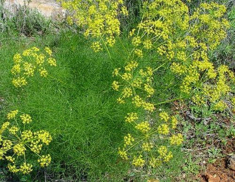 Dill Oil Seed Plant