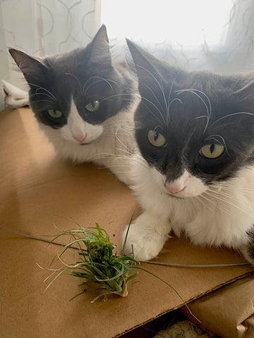 cats, pet, airplant, air plant, plant, pet safety