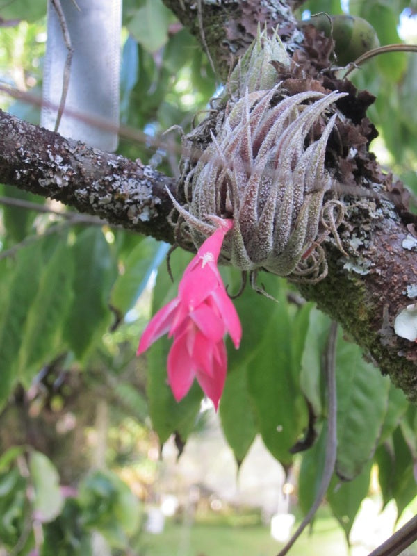 airplant-pink-flower