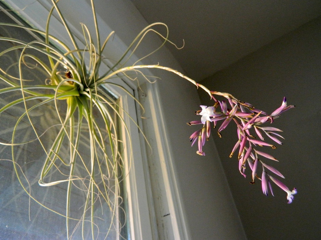 pink-airplant-in-windowsill