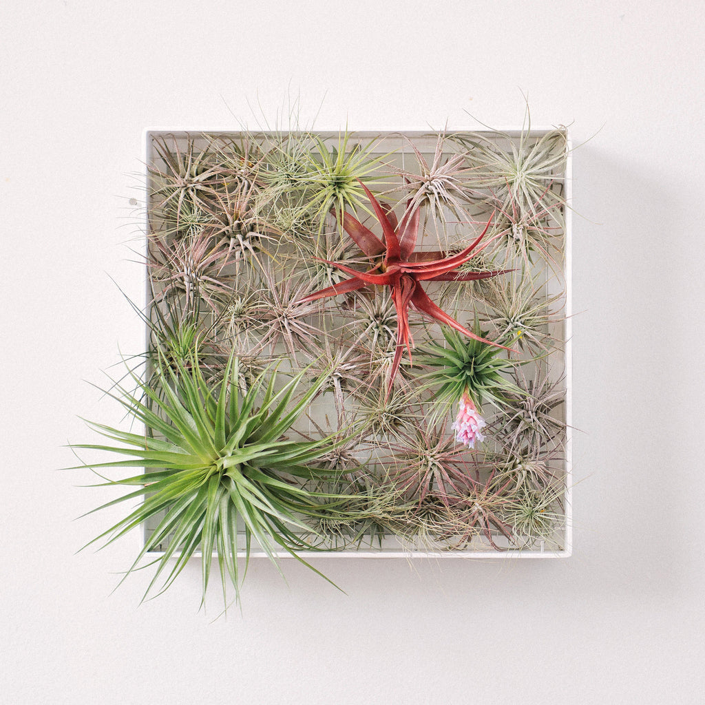 Air Plant Frame Square by Airplantman