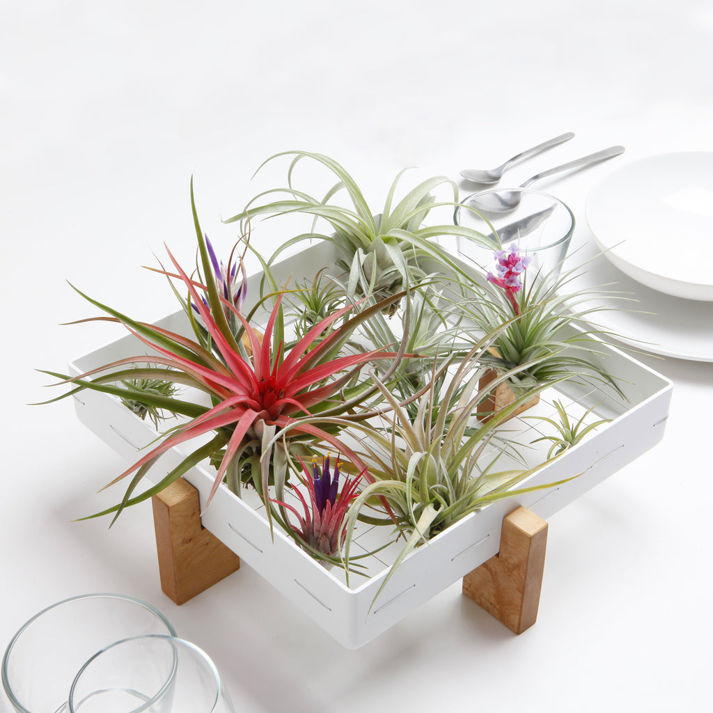 airplantman airplant frame