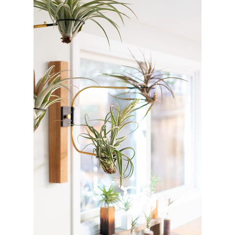 airplant air plant display holder swing arm clamp interior design plant brass and black steel wood