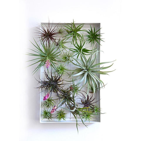 Air Plant Frame Rectangle by Airplantman