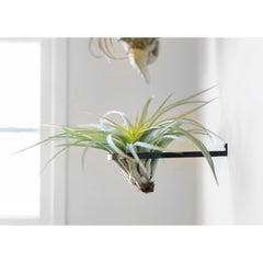 Air Plant Ring by Airplantman