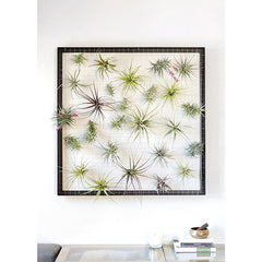 Air Plant Frame - Giant