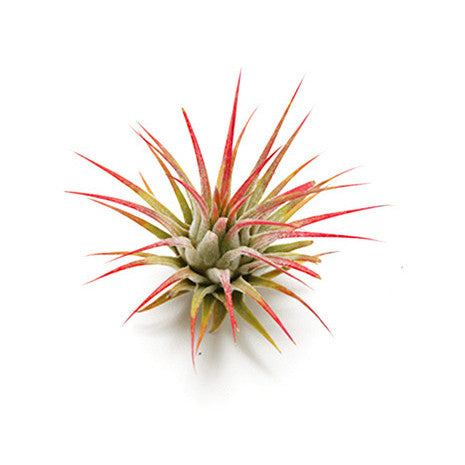 Airplant Vessel Refresh Plant
