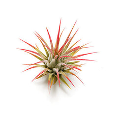 Air Plant Vessel Holder Refresh by Airplantman