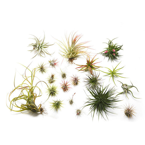 Airplant of the Month Club